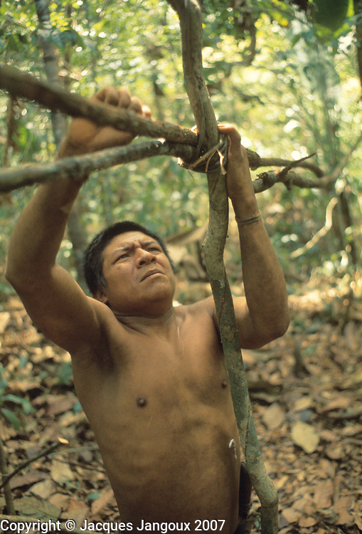 Use of forest products by Hoti (Hodi) semi-nomad Indians of Guiana Highlands of Venezuela: man building a shelter, tying saplings with vine.