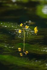 Groot blaasjeskruid, Utricularia vulgaris