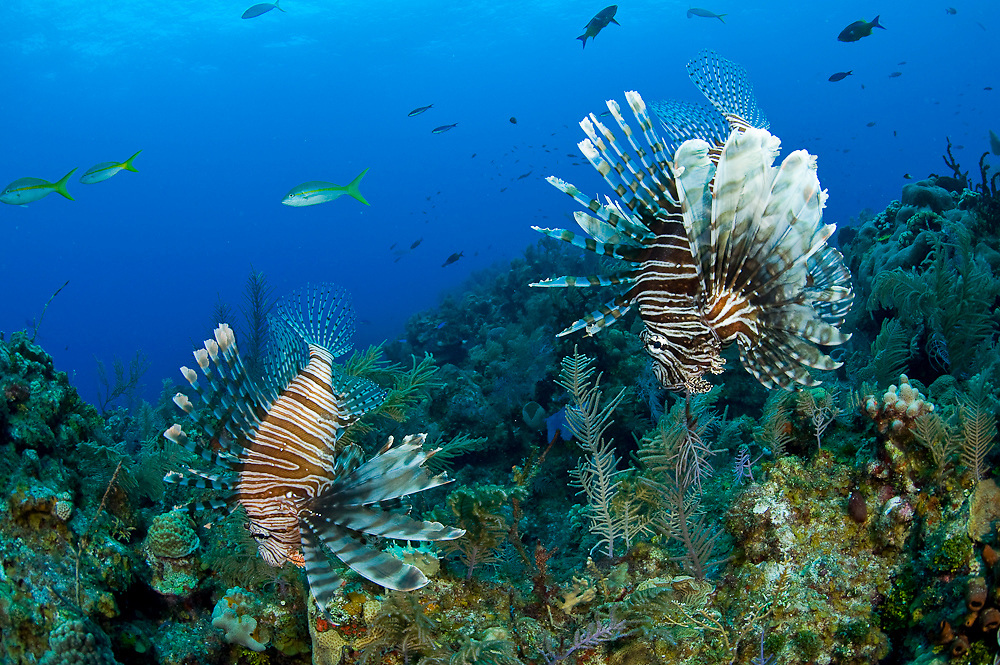 Volitans Lionfish (Pterois volitans) in the Northern Bahamas. The lionfish is an invasive species that has rapidly populated the Atlantic and Carribbean basin and threatens native fish species. It is an extremely hardy, venomous and voracious fish species.