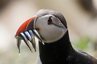 Puffin (Fratercula arctica) with fish Saltee Island Ireland