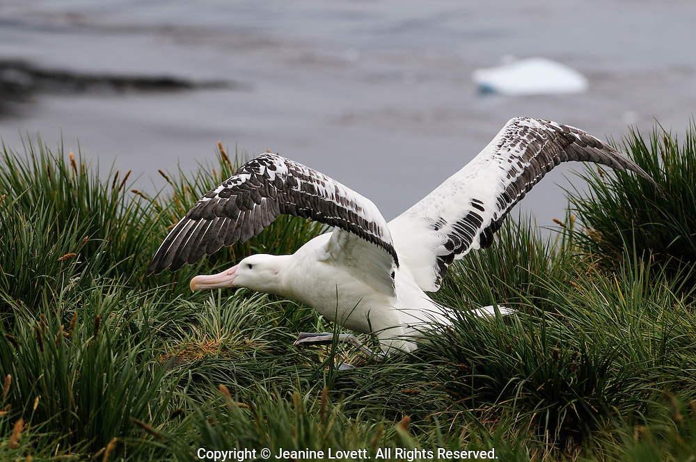 wondering albatross walks thre the grass while spreading wings.