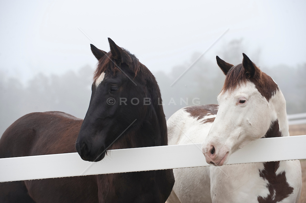 Two horses standing at a white fence, profile
