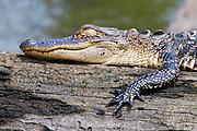 Juvenile American Alligator sleeping<br /> -Savannah National Wildlife Refuge<br /> Hardeeville, SC