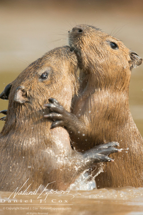 Two young capybara (Hydrochoerus hydrochaeris) play-fighting in the Cuiabá River. Pantanal, Brazil