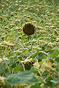 a heavy and ripe sunflower head sticking out above the other in the field