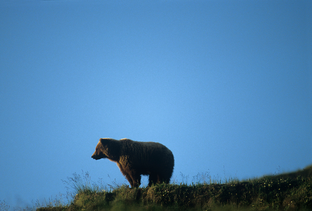 USA, Alaska, Denali National Park, Grizzly Bear (Ursus arctos) standing on tundra in early summer