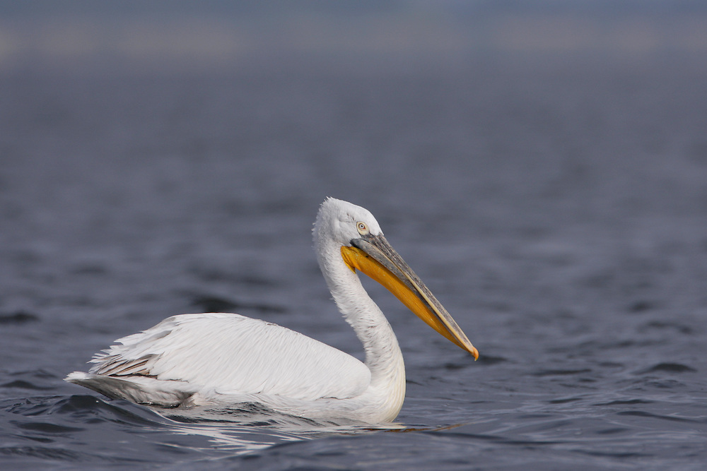 Dalmatian Pelican (Pelecanus crispus) in the Danube Delta, Romania. May 2009 <br /> Mission: Danube Delta