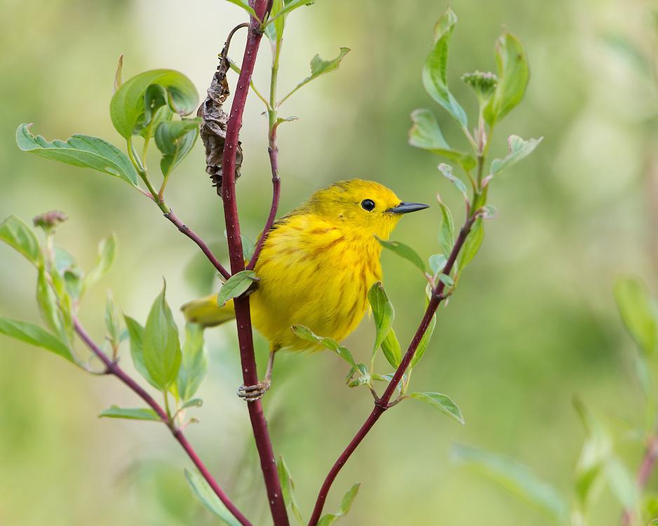 Yellow Warbler (Setophaga petechia), Montana