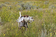 John Zeman's GSP Liza, retrieves a  Montana sharptailed grouse.