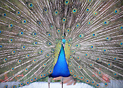 NEW ZEALAND   A peacock displays its feathers  30/12/2009. STEPHEN SIMPSON...