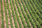 Chardonnay grapevines in limestone soil on the Champagne Tourist Route at Monthelon, the Marne Valley, Champagne-Ardenne, France