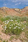 Wildflowers blooming in the Bighorn Basin of Wyoming