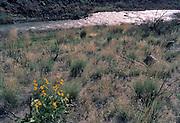 Yellow Wildflowers, Yellow flowers, Owyhee River, Owyhee River Canyon, Oregon