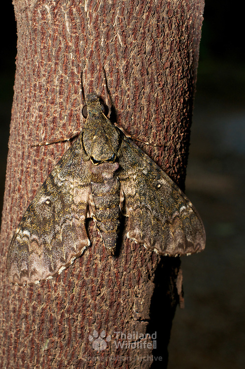 A hawk moth of the species Meganoton nyctiphanes - family Sphingidae, in Pang Sida National Park, Thailand.