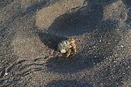 Hermit crab scrambles across sandy Sea of Cortez beach at Puerto Gato, Baja Sur, Mexico
