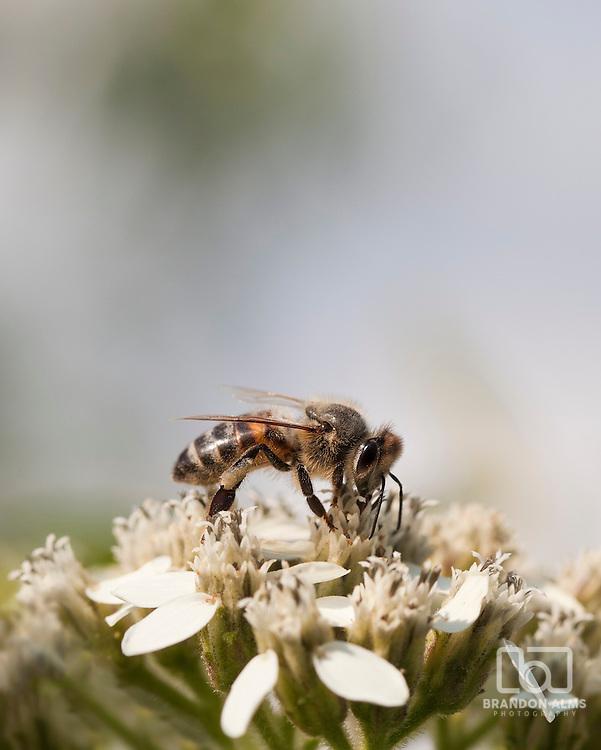 A macro shot of a honeybee on some flowers.