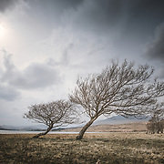 The leaning trees, Loch Tulla, Argyll.