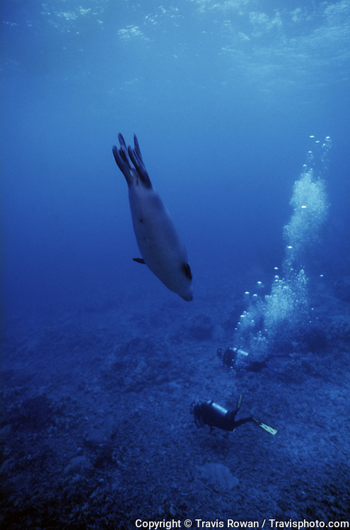A Hawaiian Monk Seal dives down to two scuba divers on a reef on the Kona Coast, Hawaii.