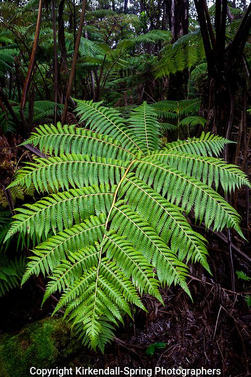 HI00303-00...HAWAI'I - Hapu'u fern in Hawai'i Volcanoes National Park on the island of Hawai'i.