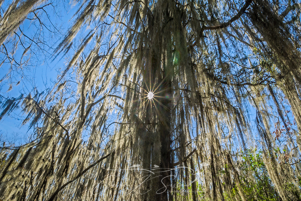 "Spanish moss hangs from a tree on Mangum Avenue, Feb. 6, 2015 in Selma, Alabama. Spanish moss (Tillandsia usneoides) tends to grow in warm, humid climates and can be found throughout the southeastern United States. Spanish moss is an epiphyte and derives its nutrients and water from the air and rain. It is commonly called an ""air plant."" Though it does not kill trees, as many people commonly believe, it can stunt the trees' growth by blocking the light that would normally reach the leaves. It also increases the trees' wind resistance, making them vulnerable during storms. Because of its prevalence, Spanish moss is commonly associated with the South and Southern Gothic imagery. (Photo by Carmen K. Sisson/Cloudybright)"