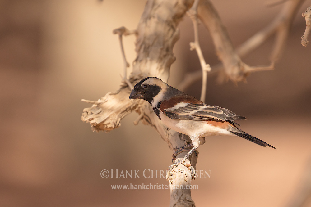 A male cape sparrow perches on a dry tree branch, Namib-Naukluft National Park, Namibia.