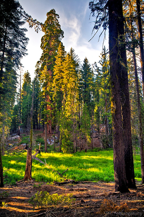 Sequoia's ring Circle Meadow in the Giant Forest Sequoia Grove in Sequoia National park.