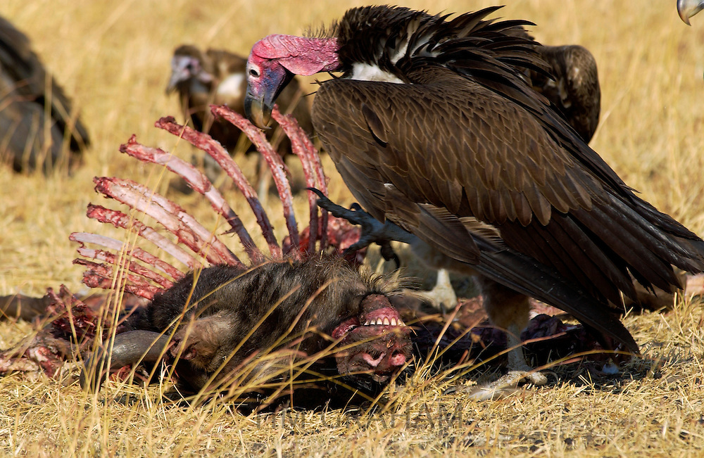 Lappet Faced Vulture Grumeti, Tanzania, East Africa