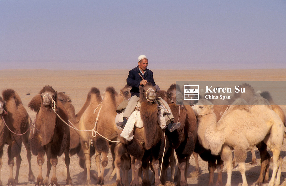 Man herding camels in Taklimakan Desert, Xinjiang Province, Silk Road, China