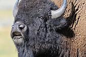 Wildlife: Bison, Bull