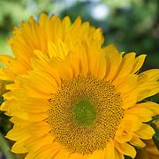 Detail of sunflowers. Camarillo, California. USA.
