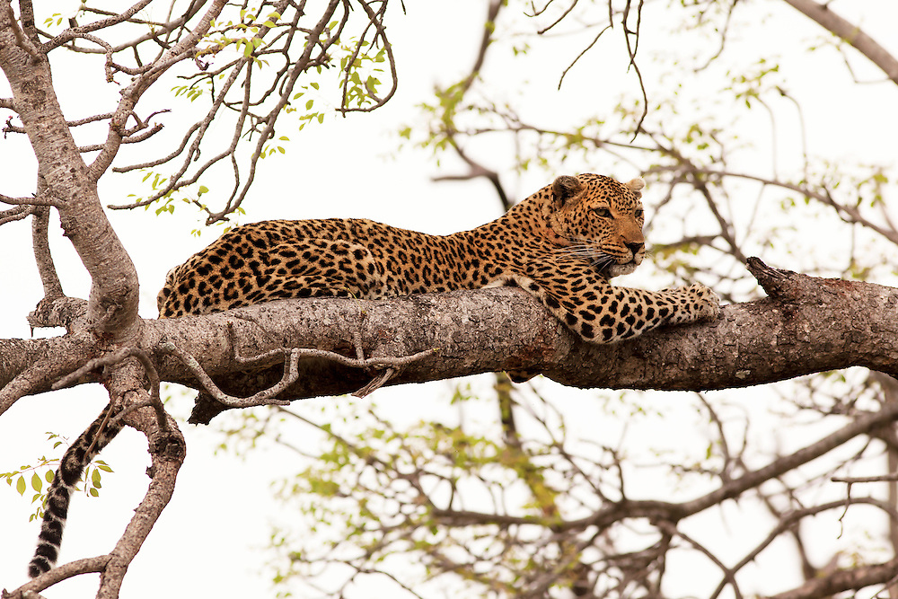 Leopards are agile and stealthy predators. Although they are smaller than other members of the Panthera genus, they are able to take large prey due to their massive skulls that facilitate powerful jaw muscles.