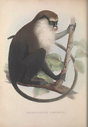 Campbell's mona monkey, also known as Campbell's guenon and Campbell's monkey (Cercopithecus campbelli) From the book Zoologia typica; or, Figures of new and rare animals and birds described in the proceedings, or exhibited in the collections of the Zoological Society of London. By Fraser, Louis. Zoological Society of London. Published by the author in London, March 1847