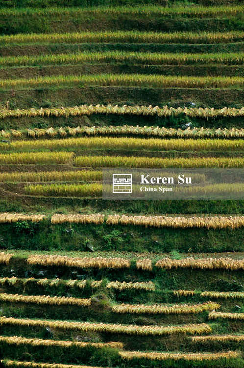 Pattern of terraced rice paddies with harvested rice, Longsheng, Guangxi Province, China
