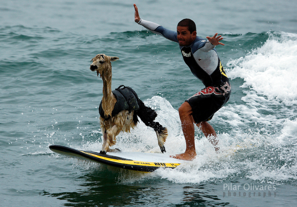 Peruvian surfer Domingo Pianezzi rides a wave with his alpaca Pisco at San Bartolo beach in Lima March 16, 2010. Pianezzi has spent a decade training dogs to ride the nose of his board when he catches waves, and now he is the first to do so with an alpaca. .. REUTERS/Pilar Olivares   (PERU - Tags: ANIMALS SOCIETY SPORT IMAGES OF THE DAY)