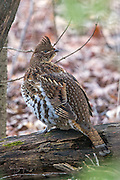 Ruffed Grouse perched on tree