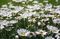 daisy flowers growing in a filel