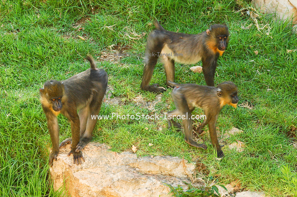 A group of female Mandrill (Mandrillus sphinx)