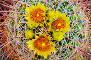 Barrel cactus in bloom, Anza-Borrego Desert State Park, California USA