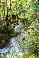 The beautiful rainforest scenery of the Kauri Lookout Trail within the Waiau Falls Scenic Reserve on the Coromandel Peninsula, North Island, New Zealand