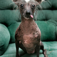 "(PETS) Wanamassa 3/7/2006  ""Lola"" a hairless Chinese Crested owned by Lisa Lemig, 1321 Spruce Ave Wanamassa section of Ocean Twp (732) 774-1321.  ""Lola"" is 10 1/2 years old.   Michael J. Treola Staff Photographer........MJT"