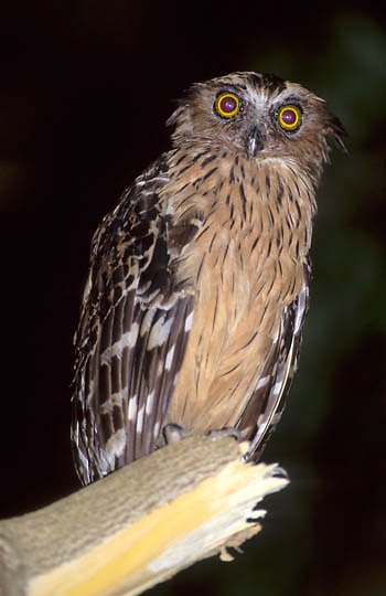 Buffy Fish Owl, (Ketupa ketupa) In bird park at Kuala Lumpur. Malaysia.