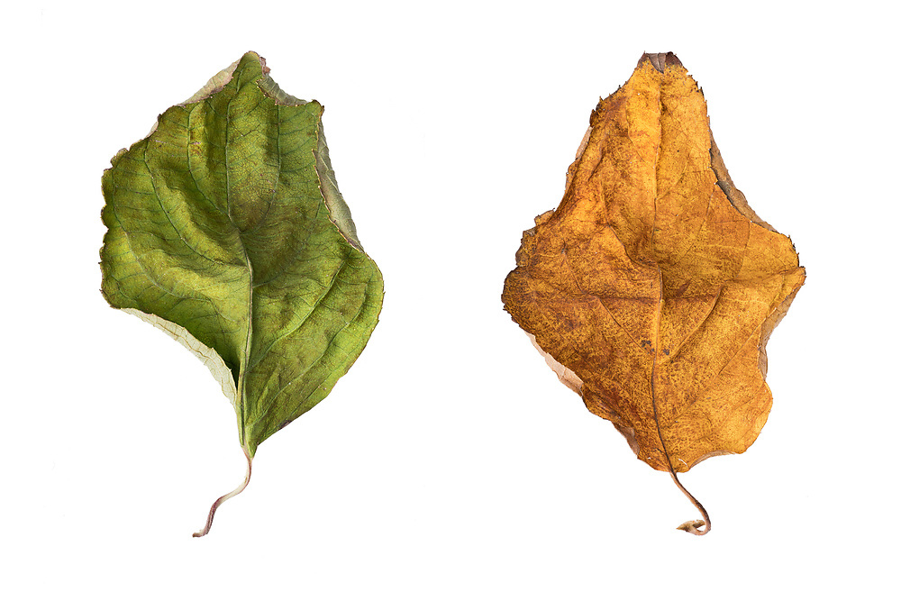Fall colors is a composite of two images that capture the beauty of leaves changing colors. These images focused on the color, depth, texture and detail of these leaves. <br /> <br /> Ocean View, DE - 2016