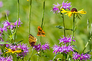 Butterflies and wildflowers: fritillary butterfly takes flight as another continues to feed on a horsemint blossom, with black-eyed Susan blossoms nearby, mountain meadow, Jemez Mountains, NM. © 2010 David A. Ponton