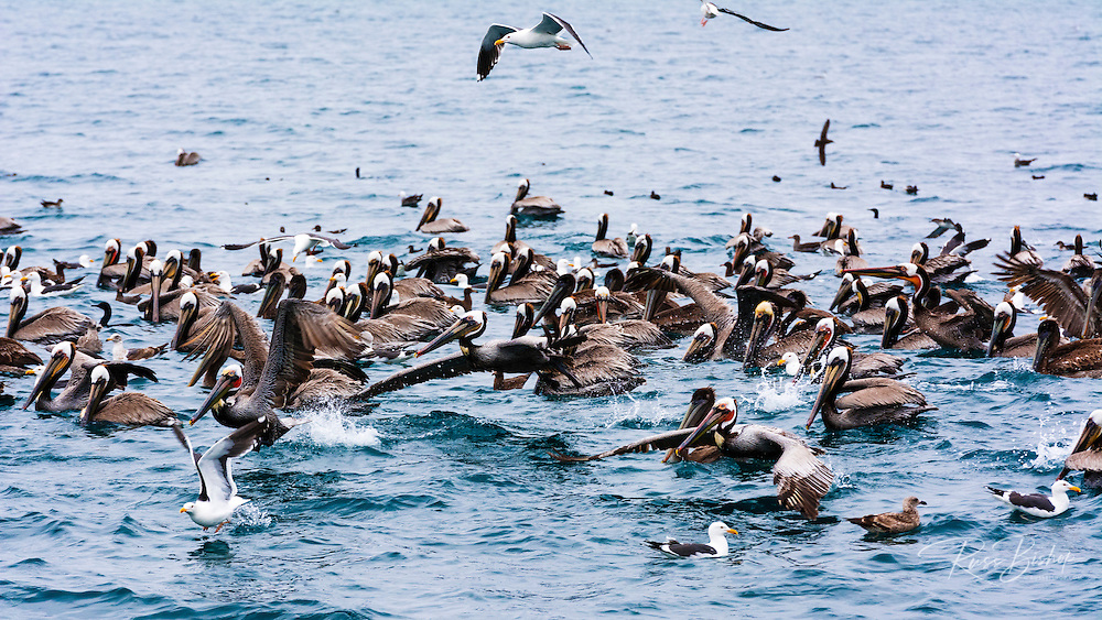 Brown pelicans and western sea gulls in the Santa Barbara Channel, Ventura, California USA
