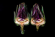 cut Artichoke heads on black background