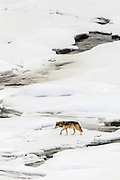 A Gray wolf crosses a frozen river