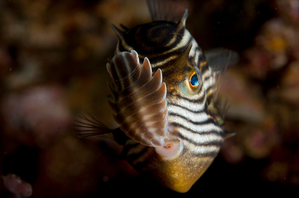 A parasitic isopod clings to the face of an Ornate Cowfish (Aracana ornata) underneath the Port Hughes Jetty in the Yorke Peninsula, South Australia.