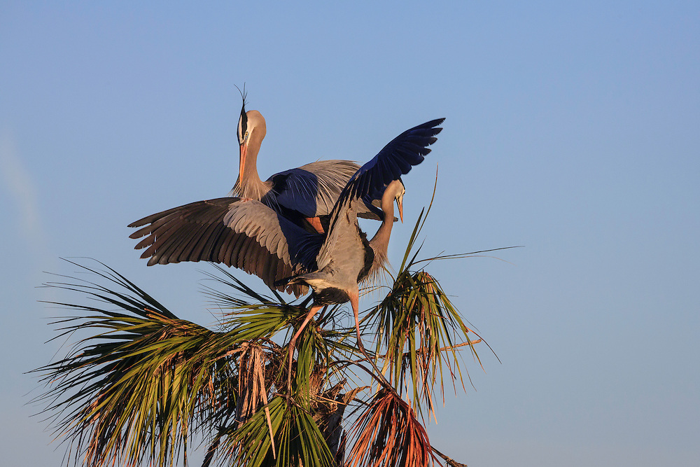 Great Blue Herons fighting for nest site at Viera Wetlands