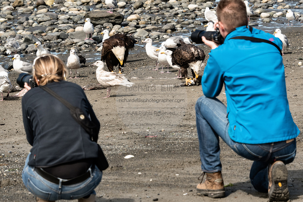 Tourists take photos of bald eagles eating fish scraps surrounded by gulls on the beach at Anchor Point, Alaska.