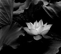 A beautiful lotus in full bloom surrounded by leaves with a few droplets of early morning dew.